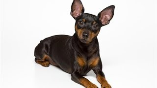 ミニチュアピンシャーの性格や特徴、飼い方から子犬の値段まで.