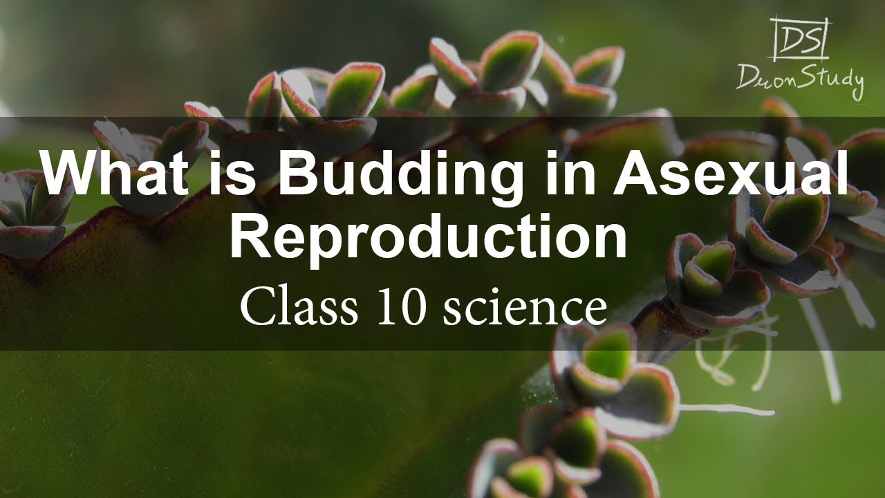 Does yeast reproduce asexually by budding