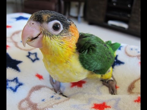 10 week old Baby White Bellied Caique Brothers