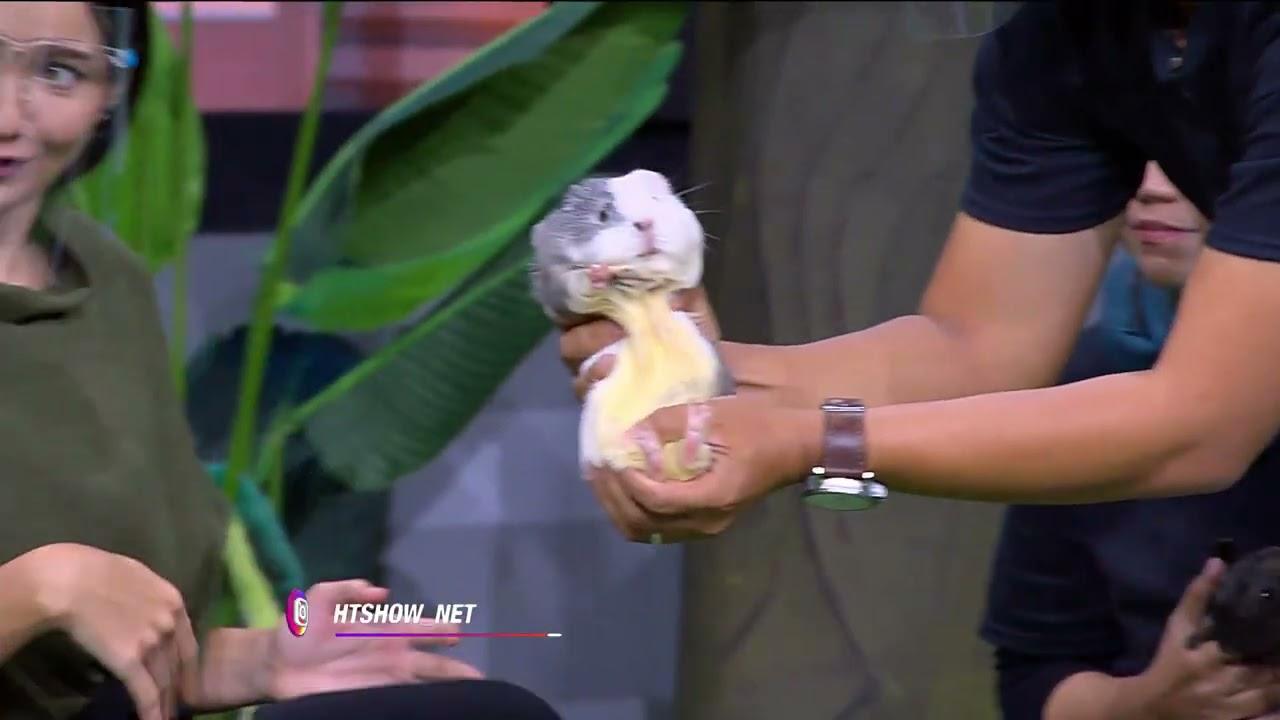Guinea Pig Bikin Grogi Enzy Sama Desta, Ada yang Tertarik Pelihara?