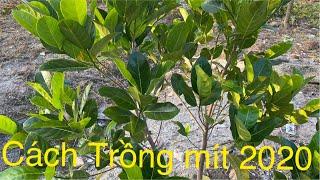 Cách Trồng Mít Thái Siêu Sớm 2020