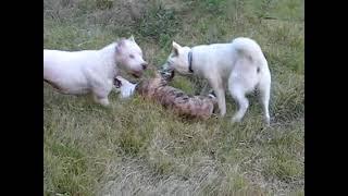 Bulldog, Dogo Argentino & …