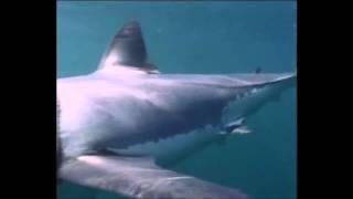 Documentário Grandes Predadores: Tubarão Branco