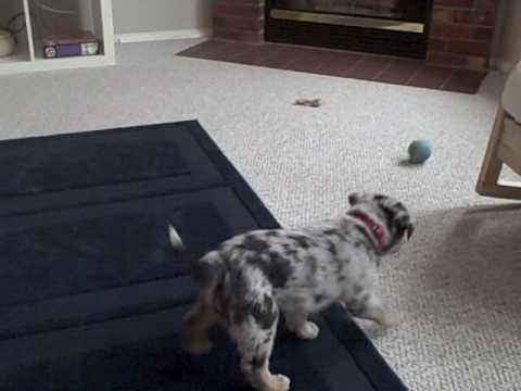 blue heeler puppy maxine pees on carpet - YouTube