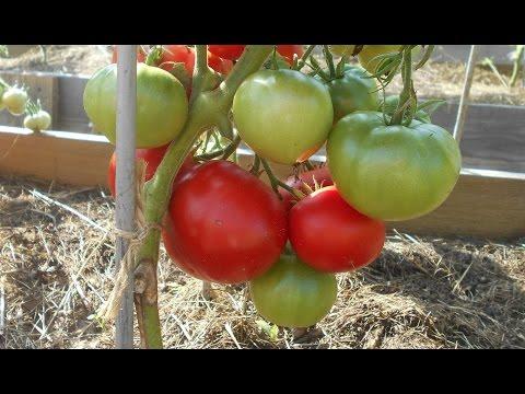 сорта помидора