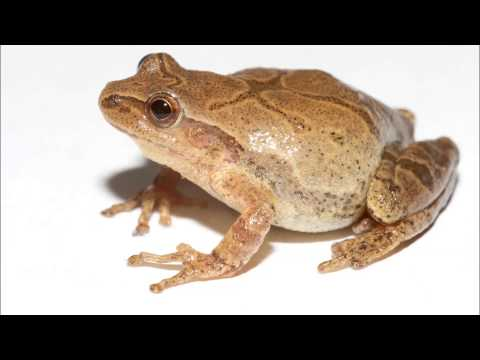 2 Hours of spring peepers
