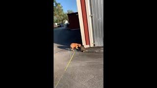 Adorable Skateboarding Dog Can't Get Enough Skating