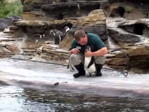 Guy Tickled Penguin