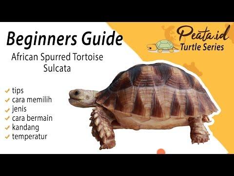 Beginners Guide Info Lengkap Tips Kura Kura Sulcata - African Spurred Tortoise Indonesia