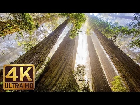 The Tallest Trees on Earth - 4K Nature Documentary Film | Re