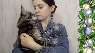 ЛИРИКУМ Жень-Шень  - очень крупный шикарный котенок мейн-кун 3 месяца