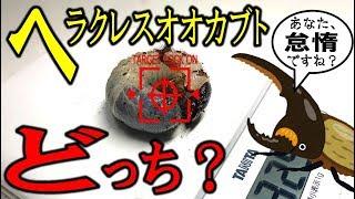 カブトムシ+クワガタ=ブリード ヘラクレスの幼虫オスメス判断できるか...