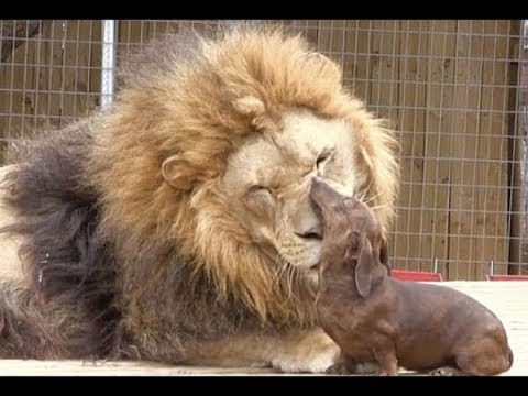 This Lion Was Born With A Disability, But Someone Forgot To Tell This Puppy  The Result Is Magical