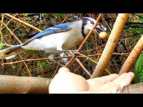 Blue Jay Trains Human To Hand Feed It A Peanut !