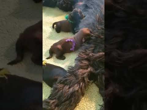 Briard Mom Gigi and her pups video 3