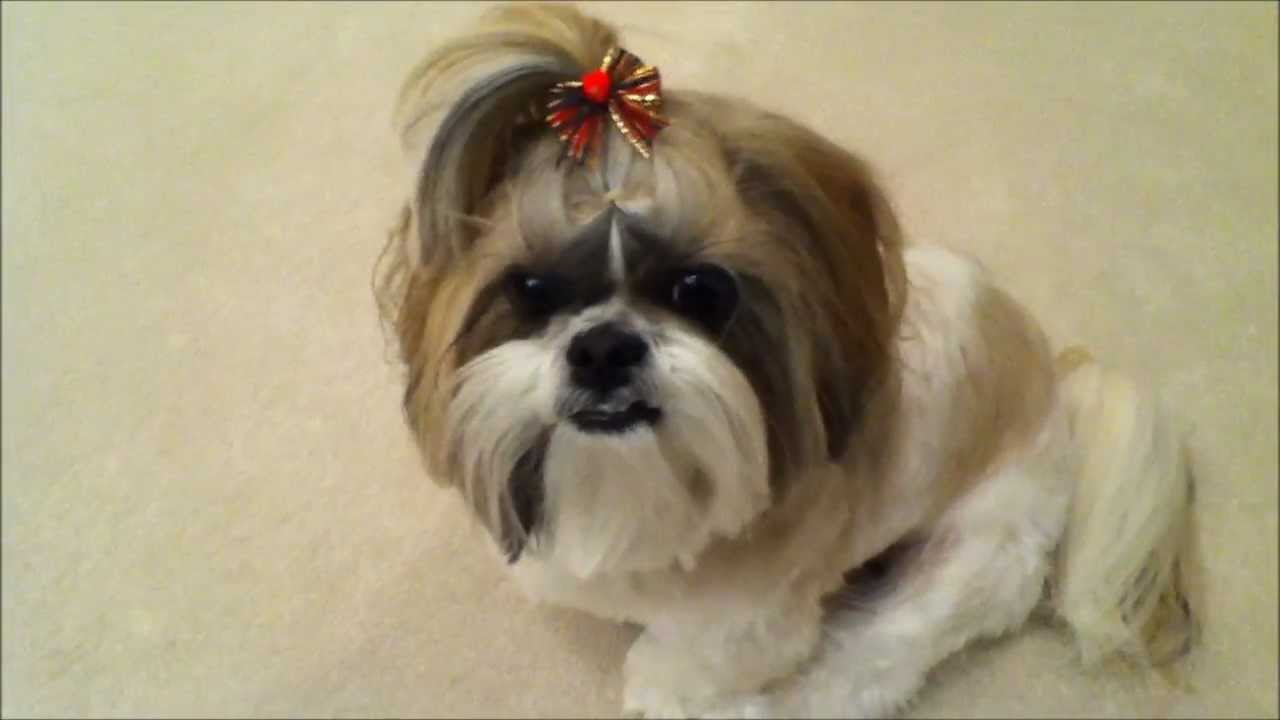 Shih Tzu Dog Lacey Gets Her Christmas Haircut Cute Holiday Bow And