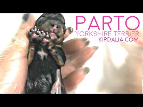El PARTO completo de Yorkshire Terrier