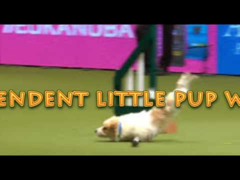 """Olly the Jack Russell Terrier turned a dog show into an episode of """"American Ninja Warrior"""""""