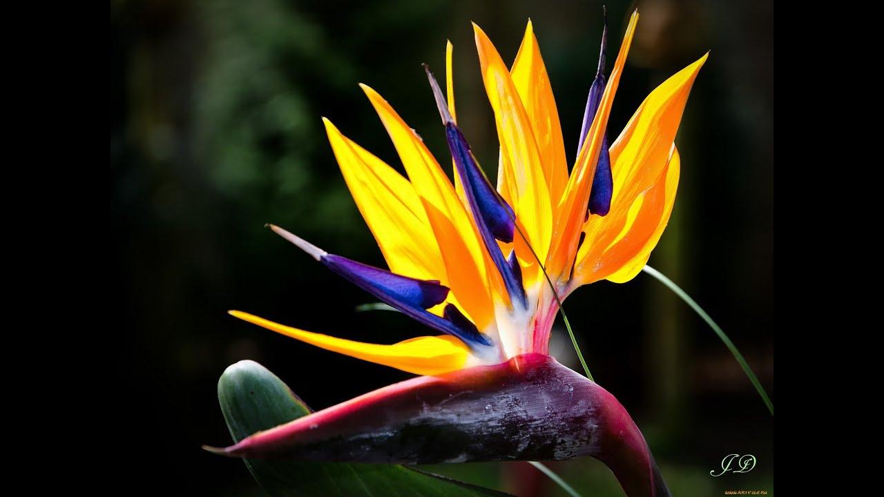 стрелиция райская птица