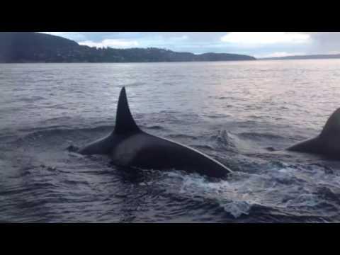 Killer Whales near bowen island, bc.