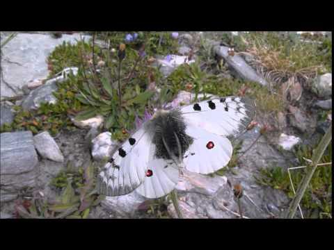 Parnassius sacerdos (Petit Apollon) mâle butinant