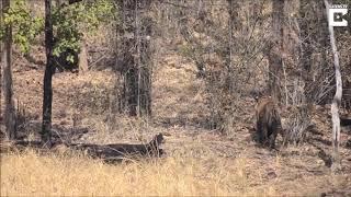 Медведица защищает своего медвежонка от тигра!