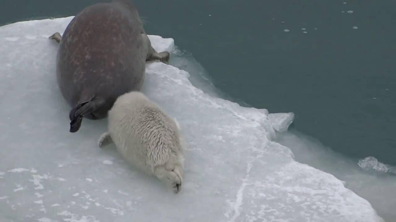 ТЮЛЕНЬ ЗИМОЙ В КАСПИЙСКОМ МОРЕ. Забавные животные морские котики / marine seal