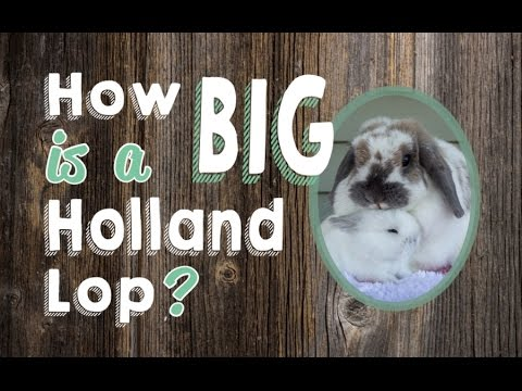 How Big Is A Holland Lop Rabbit Youtube