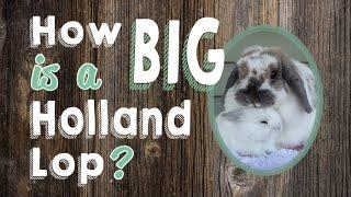How Big is a Holland Lop Rabbit?