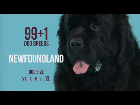 Newfoundland / 99+1 Dog Breeds
