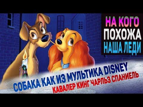 """Кавалер Кинг Чарльз Спаниель. Собака как из мультика Disney """"Леди и Бродяга"""""""