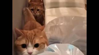 Two Munchkin Cats On The Prowl