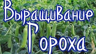 видео Что можно вырастить на балконе: выращивание кабачков, гороха