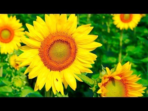 Цветы по оттенкам радуги. Растения желтого цвета