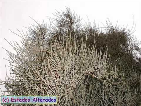 Эфедра хвощевая, Побеги эфедры (трава хвойника), эфедра