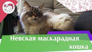 Невская маскарадная кошка на ilikepet