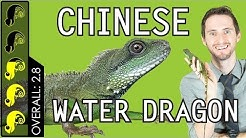 Chinese Water Dragon, The Best Pet Lizard?