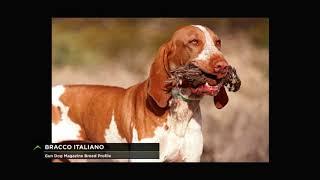 Breed Profile: Bracco Italiano