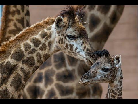 Giraffe Calf Kicks Up Cuteness at San Diego Zoo thumbnail