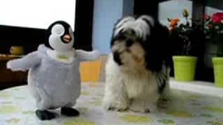 shih tzu rocky balboa vs. happy feet