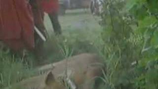 Maasai corner and hunt an innocent (as understood later) lioness. A...