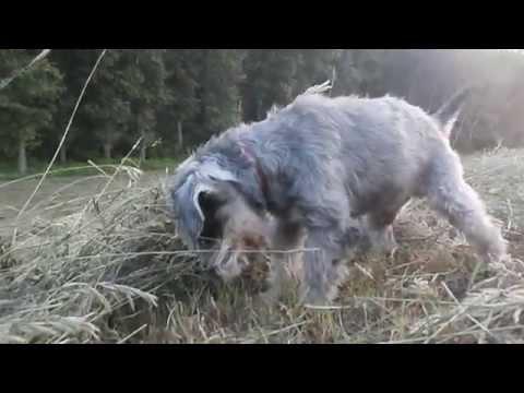 Miniature schnauzer hunting (12 years old)