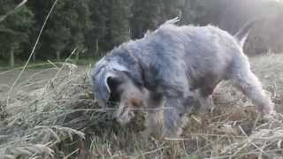 Miniature Schnauzer Hunting (12 Years Old)