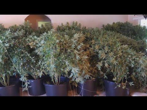 $200K of pot found in elaborate Lehigh Acres grow house