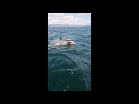Un grupo de orcas visita la Ría de Vigo