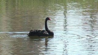 Пару черных лебедей запустили на озеро Щорса в Якутске