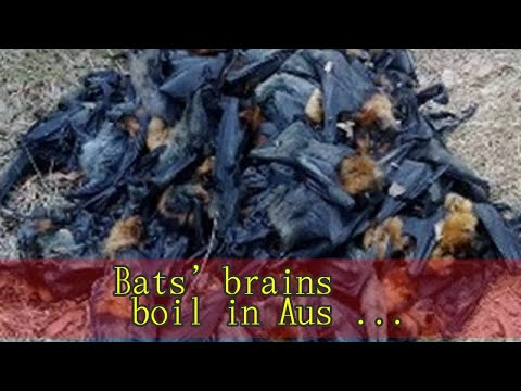 Bats' brains boil in Australia heatwave