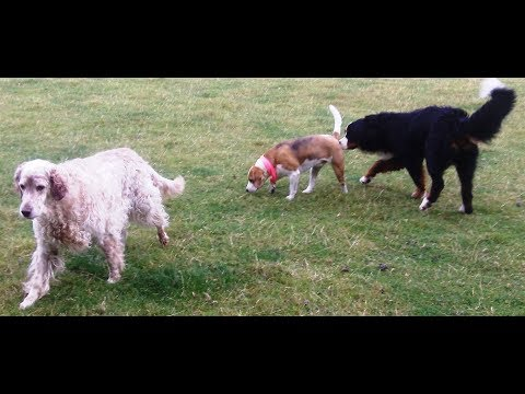 Jasper, Murphy & Otis Beagle, Bernese & English Setter mooching.