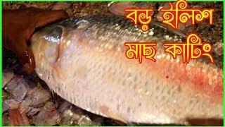 2 kg river ilish (Hilsa) fish ।। পদ্মা নদীর বড় ইলিশ মাছ কাটিং ।। big hilsa fish cutting