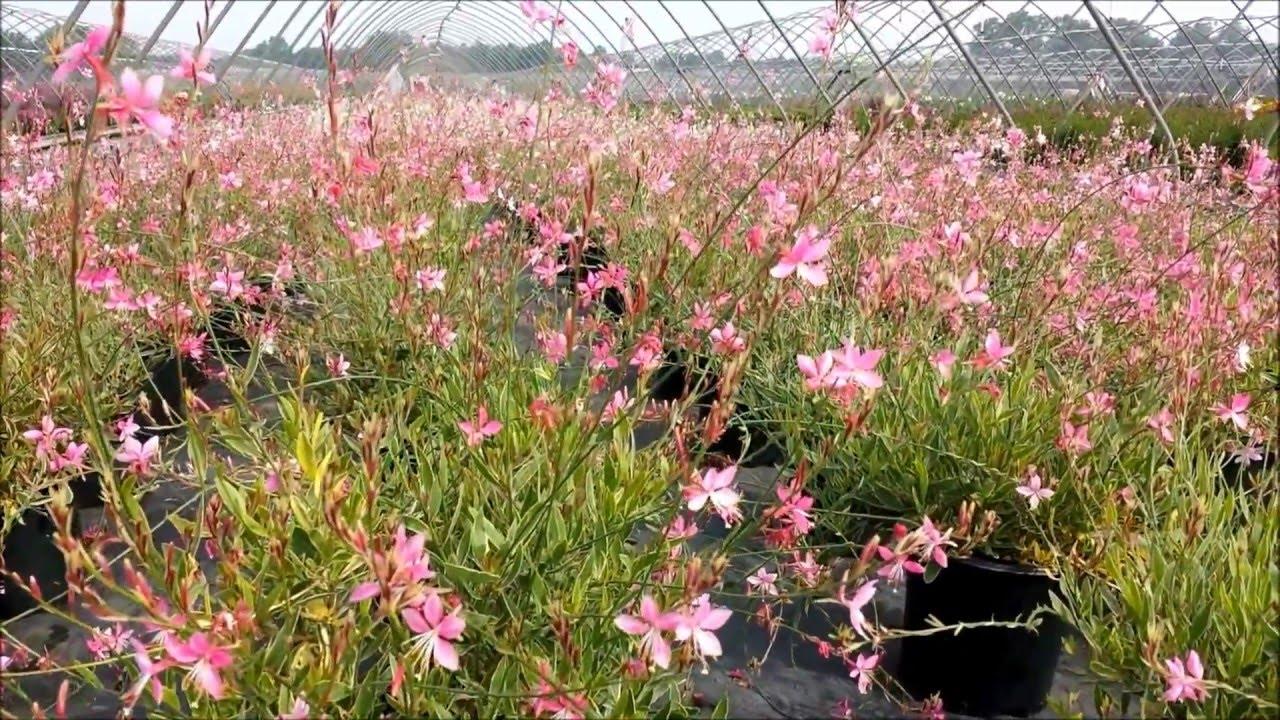 Best perennials gaura sunny butterflies wand flower youtube best perennials gaura sunny butterflies wand flower mightylinksfo